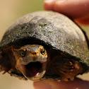 Common Musk Turtle