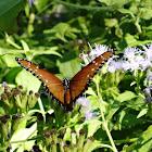 Tropical Queen Butterfly