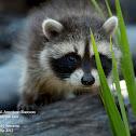 N. American Raccoon