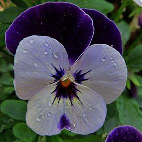 Maćuhica, by Katica Pecigoš-Kljuković - Flowers Single Flower ( izlaz, rosa, leptiri, breg, zalaz )