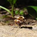 Major Bee Fly