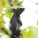 Frasers Hill Tree Lizard