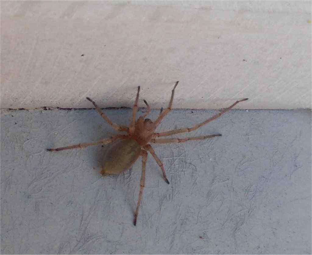 Northern yellow sac spider