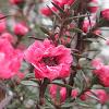 Tea Tree'Crimson Glory'