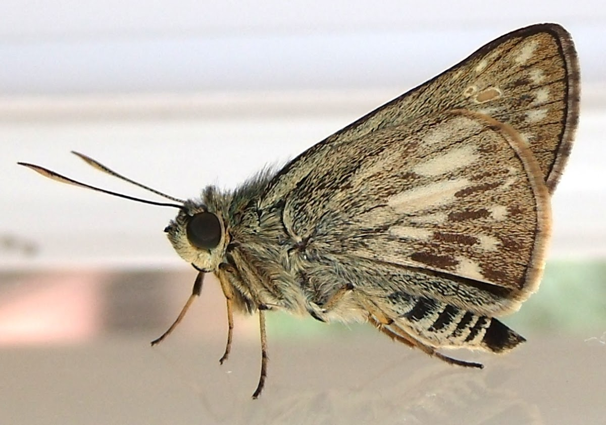 Moore's Ace butterfly