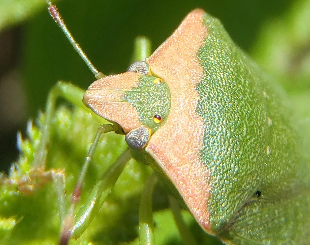Chinche verde. Green stink bug