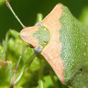 Chinche verde. Green stink bug