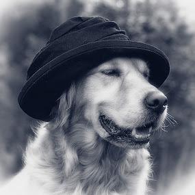 Mr. Bojangles by CLINT HUDSON - Animals - Dogs Portraits ( dog, hat, golden retriever )