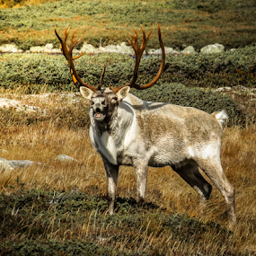 Old Stag in Rut by Eugene Ball - Animals Other Mammals ( animals, newfoundland, antlers, mammal, caribou, deer,  )