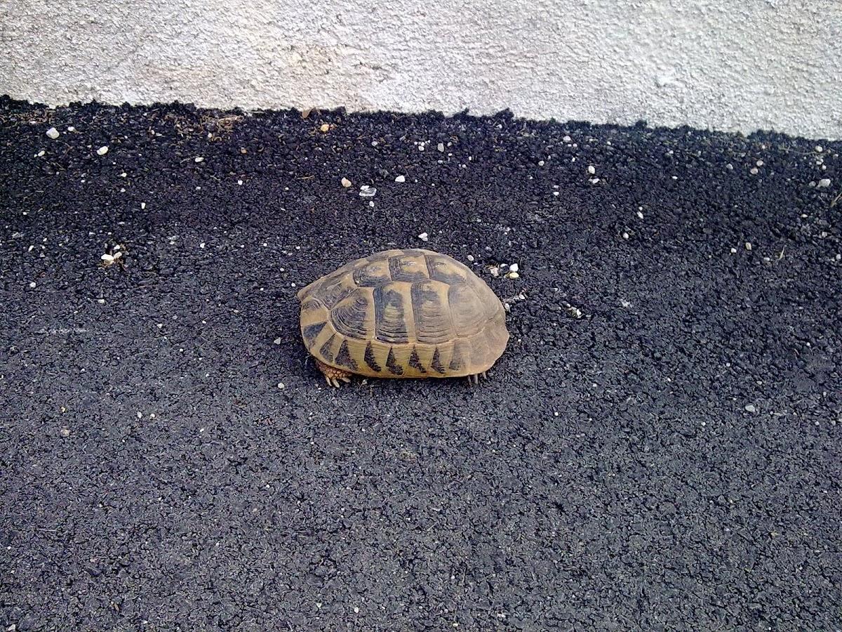 Testudo hermanni(Hermann's tortoise)