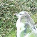 yellow eyed penguin (hoiho)