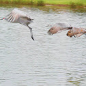 Sandhill cranes (Juvinile & parents)
