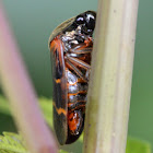 Spittle Bug/Froghopper