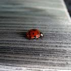 Multicoloured Asian Ladybug