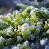 frosted Peat Moss
