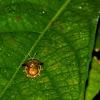 Iridescent Golden Tortoise Beetle
