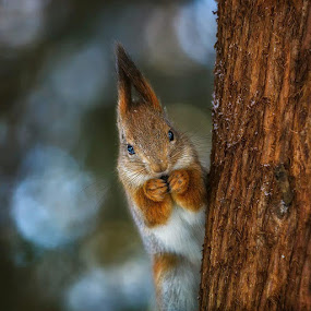 squirrel by Dmitry Laudin - Animals Other