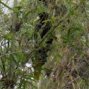 Crested Oropendola