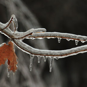 Frozen by Bob Minnie - Nature Up Close Leaves & Grasses