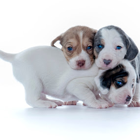 The Adorable Three by Karen Clemente - Animals - Dogs Puppies ( puppies, cute puppy, blue eyes, adorable, beagle,  )