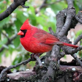 Male Northern Cardinal  by Patti Hobbs - Animals Birds ( animals birds male northern cardinal,  )