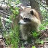 Raccoon, Racoon, Common Raccoon, North American Raccoon, Northern Raccoon, Coon