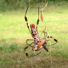 Banana spider (Golden Silk Spider)
