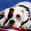 American Bulldog Wallpapers logo