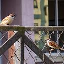 Eurasian Tree-Sparrow