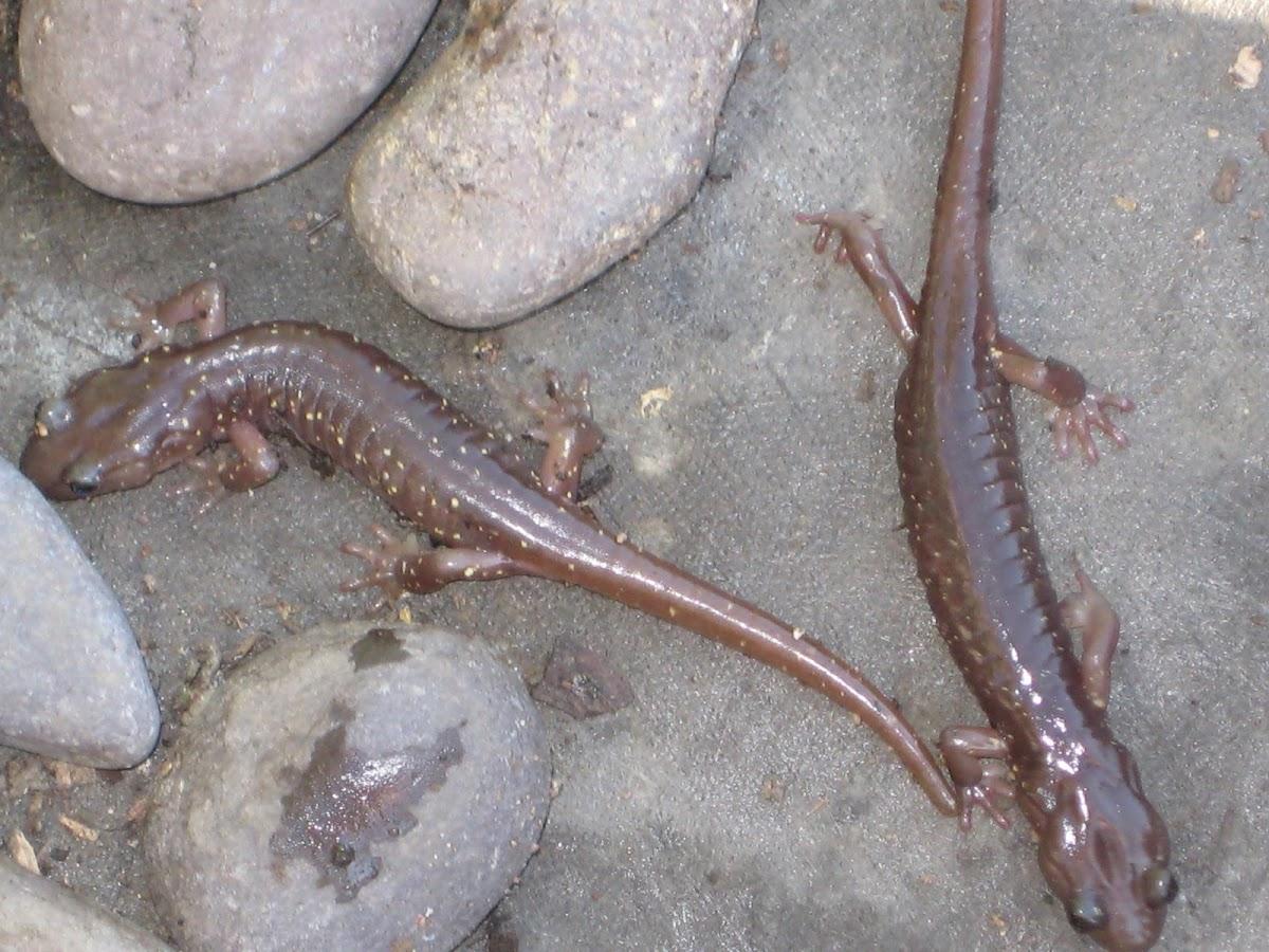 Arboreal salamanders
