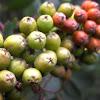 European Rowan fruits