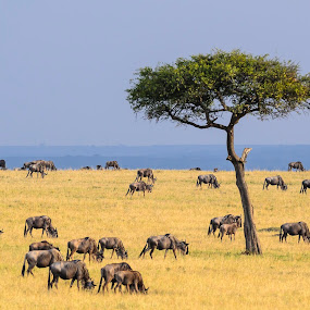 Peaceful Grazing by Arend Van der Walt - Landscapes Prairies, Meadows & Fields ( clouds, peaceful, wildebeest, acacia, mara, grazing, green, 16x9, white, wildlife, kenya, yellow, tree, blue, horizontal, bearded, safari, sept 2013, africa )