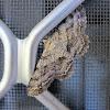 Cleora Looper Moth