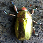 Abejón dorado/Gold bug