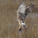 Northern Harrier  (hunting)