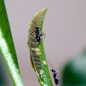 Ants & Aphids
