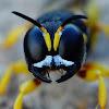 Crabronidae species
