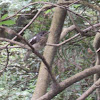 Oriental Magpie-Robin (juvenile)