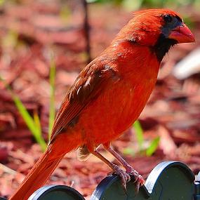 Young male cardinal by Alan Hammond - Animals Birds ( animals, birds )