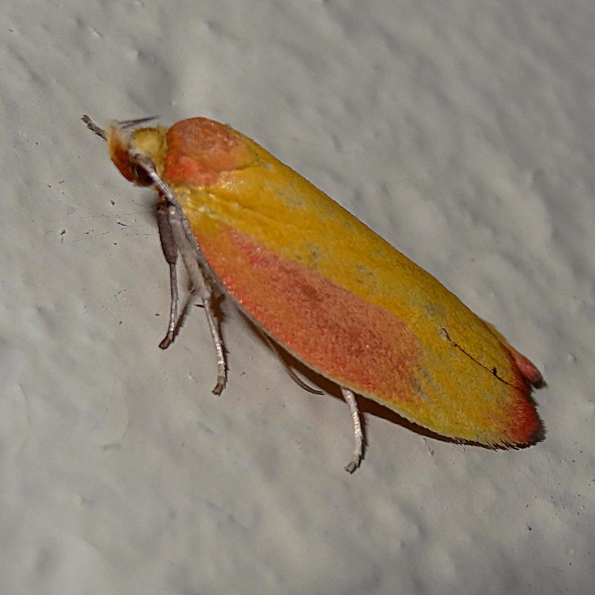 Wingia hesperidella
