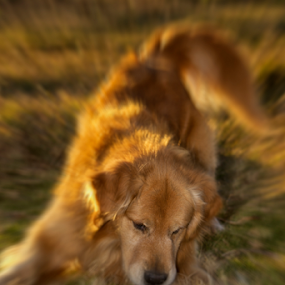 Golden Retriever playing by Cristobal Garciaferro Rubio - Digital Art Animals