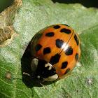 Multicolored Asian ladybug beetle