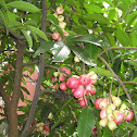 Jambu Bol Jamaica, Mountain Apple