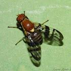 Fruit Fly (Walnut Husk Fly)