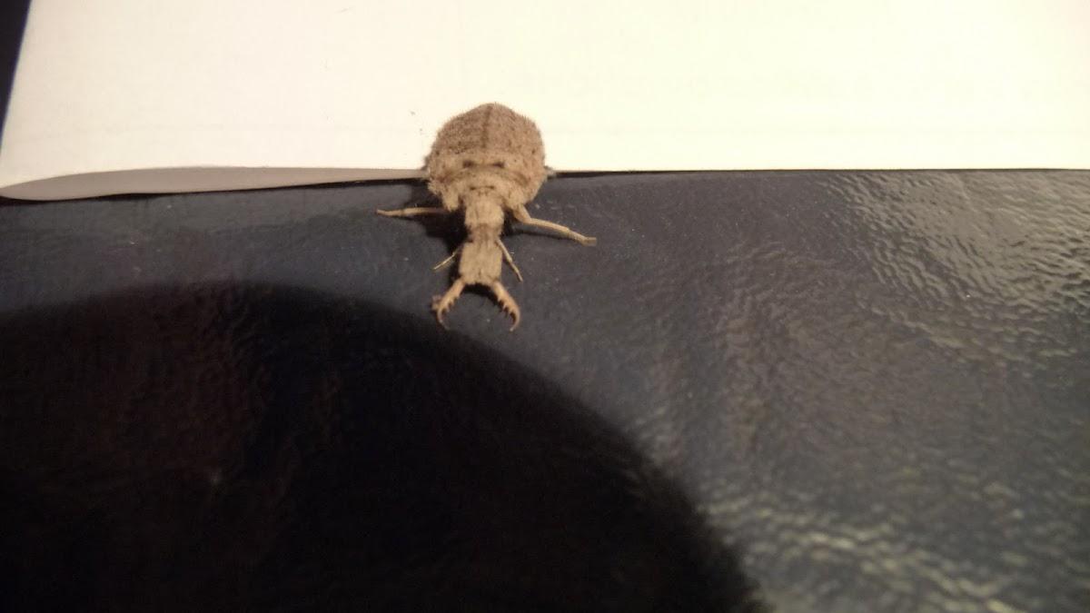 Tiger Beetle Larvae