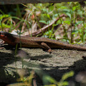 Rough-Backed Ground Skink