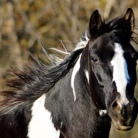 Black and White Wagon Puller by Stephanie Turner - Animals Horses (  )