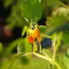 Spotted jewelweed