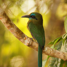 Keel-billed Motmot (Electron carinatum)  by Siggy In Costa Rica - Animals Birds ( bird, blue, green, costa rica, wildlife,  )