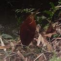 Cinnamon Bittern